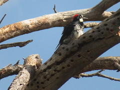 Acorn Woodpecker, Big Bend National Park, TX 7/17/2017