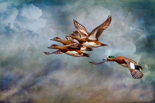 American Wigeons ~ Formation | by Johnrw1491