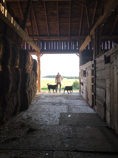 Past generations have stored straw in many forms in this barn: sheaves, small squares, cut straw. A new barn floor provides a safe place for large square bales. #oldbarn #heritage | by hdurnin