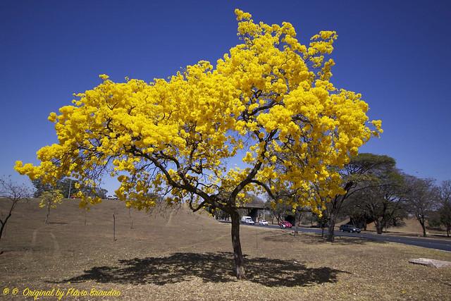 Série com o Ipê-amarelo em Brasília, Brasil - Series with the Trumpet tree, Golden Trumpet Tree, Pau D'arco or Tabebuia in Brasília, Brazil - 20-08-2017 – IMG_7540