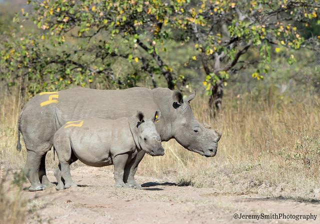 White Rhino, Ceratotherium simum, Kyle Game Park, Zimbabwe