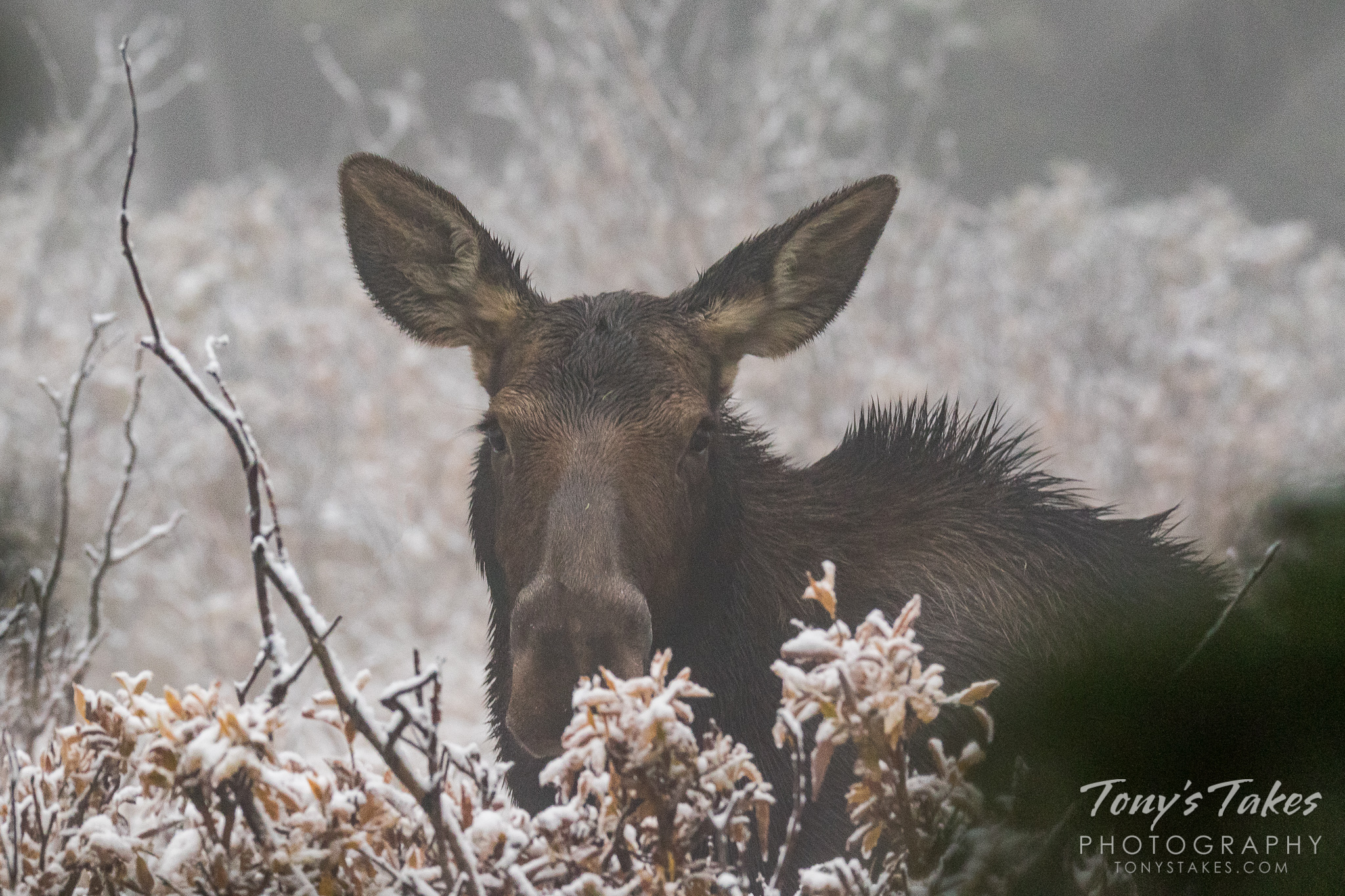 A moose cow weathers a fall snowstorm in Colorado's high country. (© Tony's Takes)