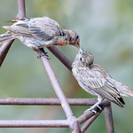 Momma and Baby Finches