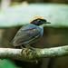 Gnateaters - Conopophagidae