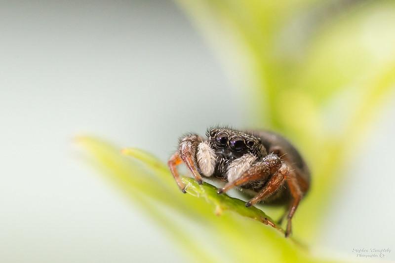 Spider macro Tokina 100mm Macro