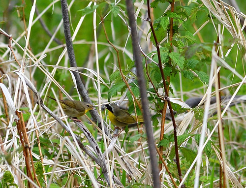 common yellow throat petrie island 21052016 DSC_1170 | by David Villeneuve