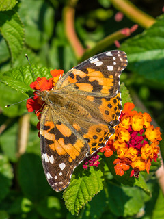 American Painted Lady Butterfly on Lantana Heads   by Charles G. Haacker