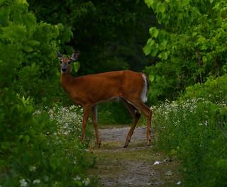 white tail deer petrie island 21062016 DSC_4137   by David Villeneuve