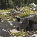 Yellow-bellied Marmot (melanistic)