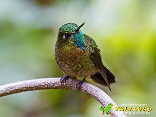 Tyrian Metaltail | by This Way - Birding Services