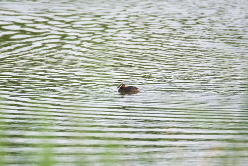 日, 2017-08-20 08:39 - カイツブリ ー 葛西臨海公園