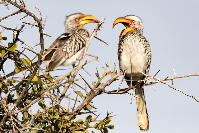 Yellow Bill Hornbill
