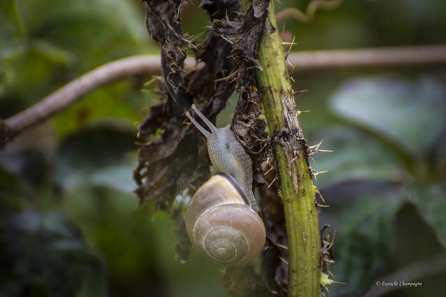 Escargot - Snail DBC_8168w