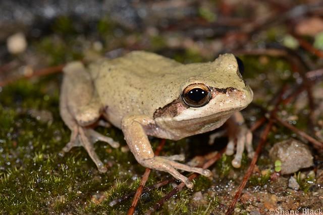 Verreauxs Tree Frog (Litoria verreauxii)