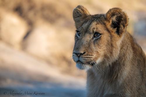Alika the lion. | by Alexander Máni Kárason