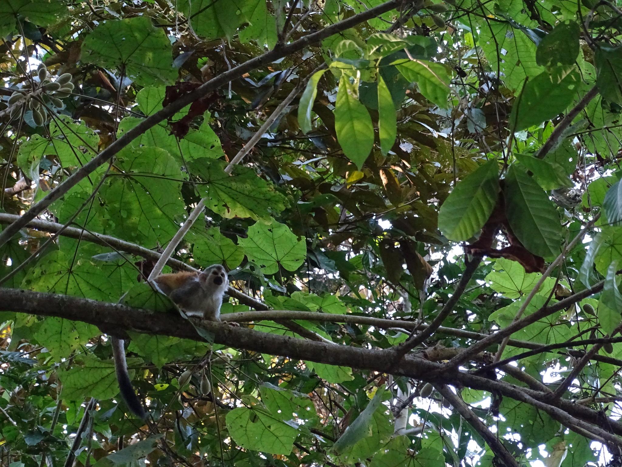 Costa Rica mono Titi Parque Nacional Manuel Antonio