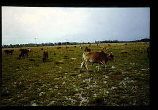 Communal Grazing Land In The South Thailand = タイ南部の自然草地