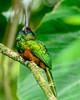Galbula tombacea - Jacamar Barbiblanco.