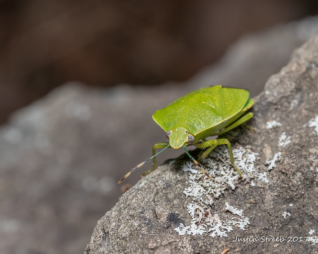Green Soldier Bug 2