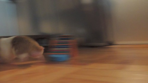 VIDEO .... 'Oreo' The Hamster In His Playpen