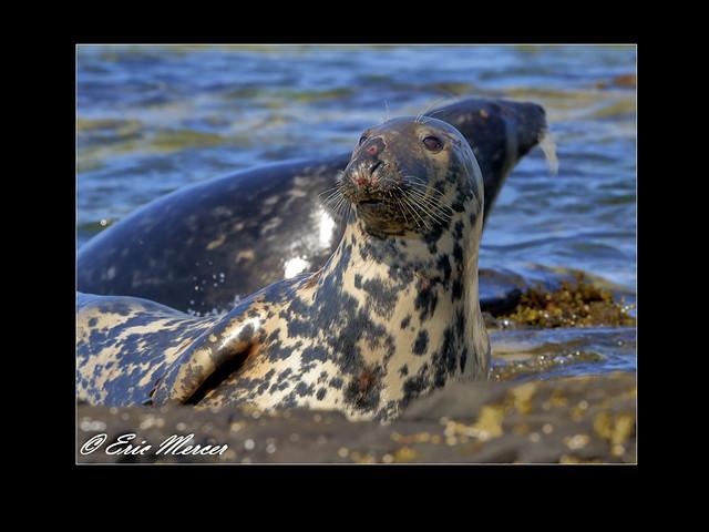 Grey Seals (Halichoerus grypus) off The Farne Islands