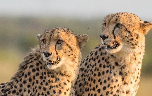 Portrait of two brother cheetahs  in Pilanesberg Nationalpark