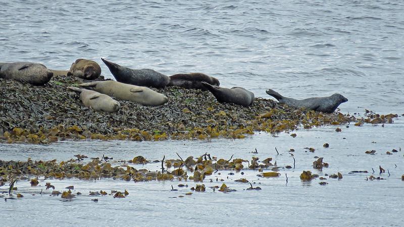 Harbour Seal - Phoca vitulina