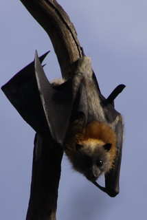 Flying Fox | by Mik Arber