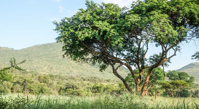 Landscape with acacia tree in Pilanesberg, South Africa