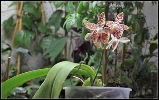 Phalaenopsis sumatrana South Thailand (1) | by Neira Magic'B