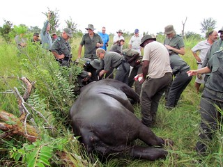 Rhino rescue in Kruger National Park - South Africa | by US Department of State