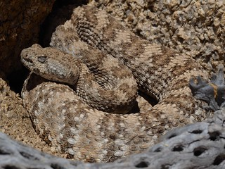 South Western Speckled Rattlesnake (Crotalus mitchellii pyrrhus) | by NicholasHess