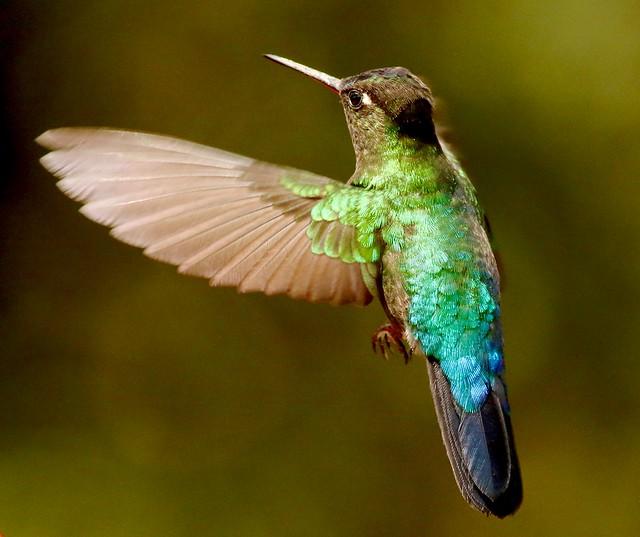 Fiery-throated Hummingbird - Colibri insigne