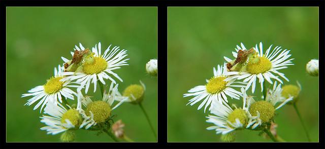 Jagged Ambush Bug on Heath Aster Flower 3 - Crosseye 3D