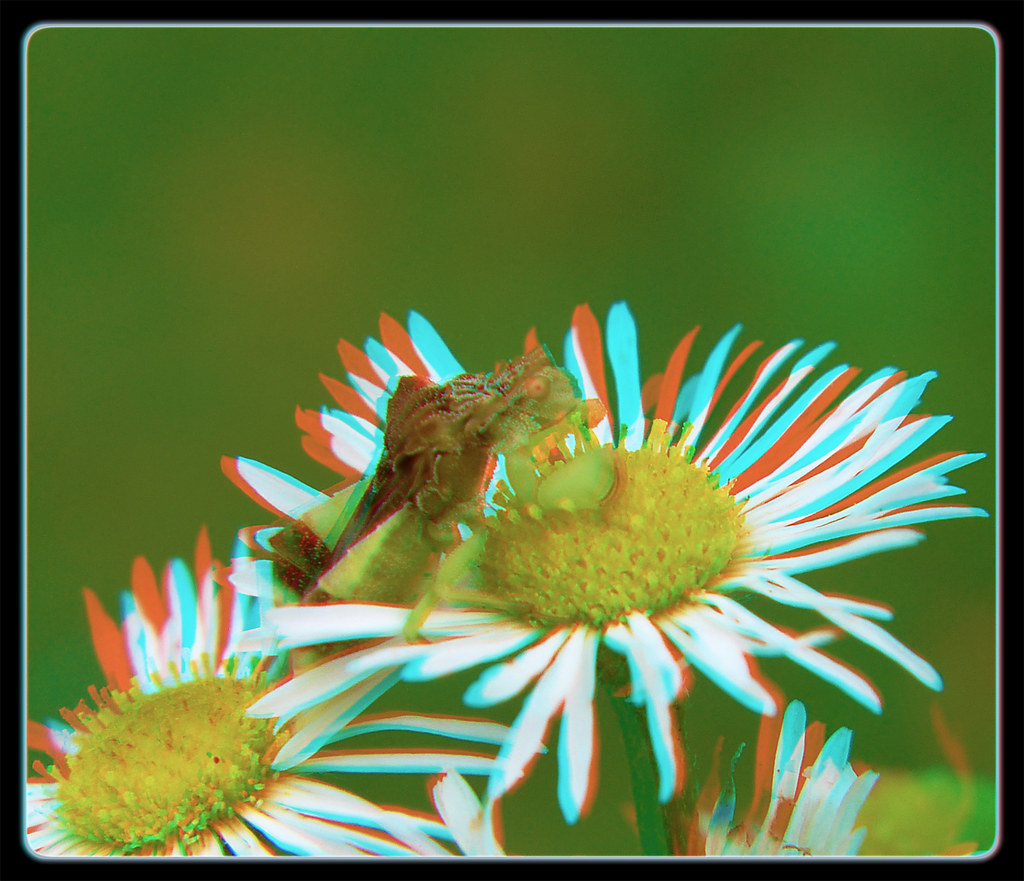 Jagged Ambush Bug on Heath Aster Flower 2 - Anaglyph 3D