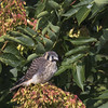 American Kestrel (juvenile) - Falco sparverius by Dave Boltz