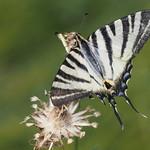 Do, 27.07.17 - 15:09 - Scarce Swallowtail - Iphiclides podalirius