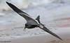 Leach's Storm Petrel (Oceanodroma leucorhoa) by Elliot Montieth
