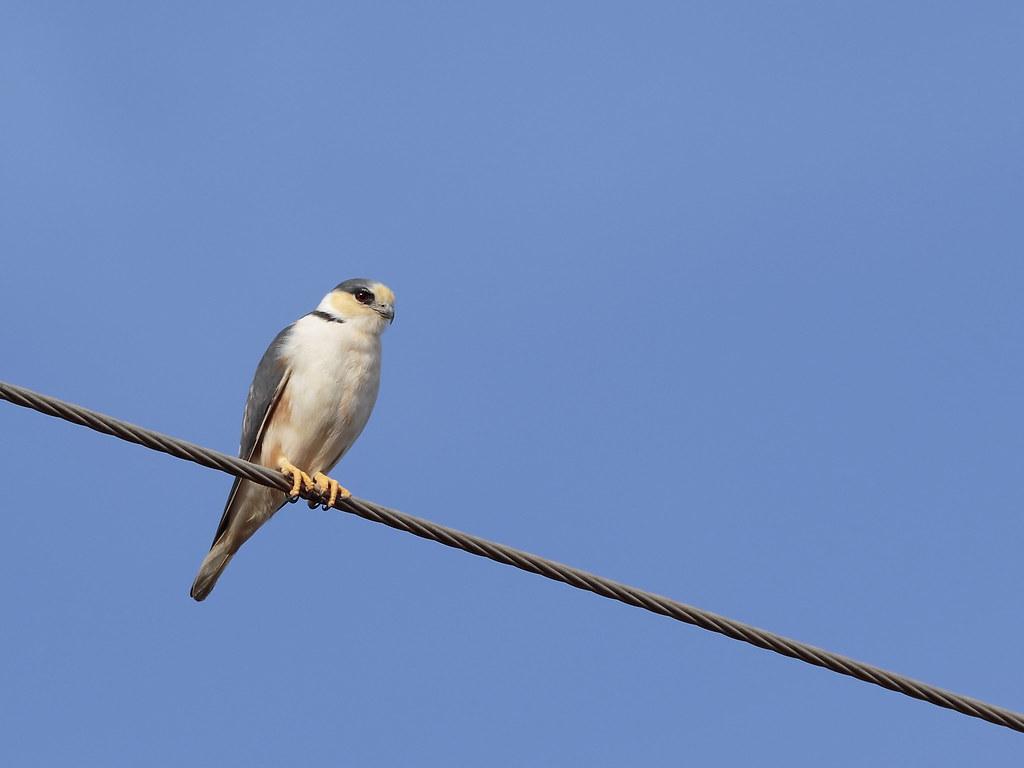 Gaviãozinho / Pearl Kite / Gampsonyx swainsonii [Vigors, 1825]