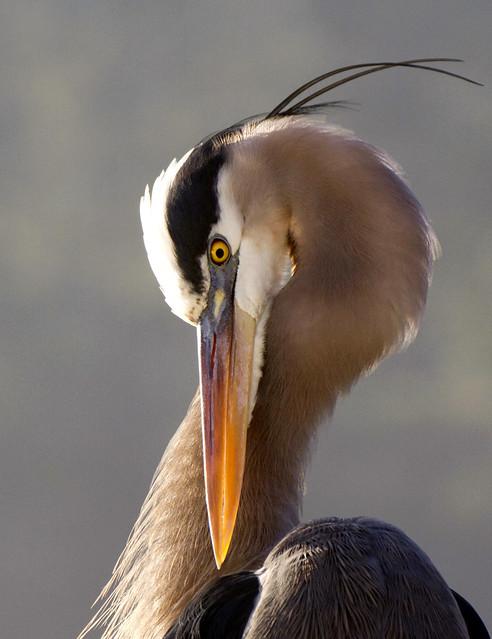 Great blue heron, Ardea herodias posing up close