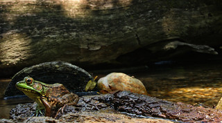 Green frog (Lithobates clamitans) in situ | by phl_with_a_camera1