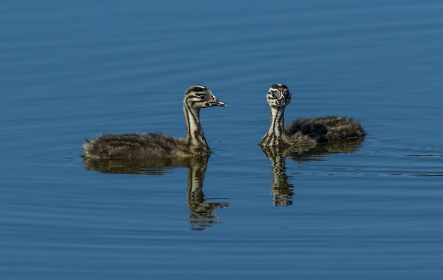 Great crested grebe - youngsters