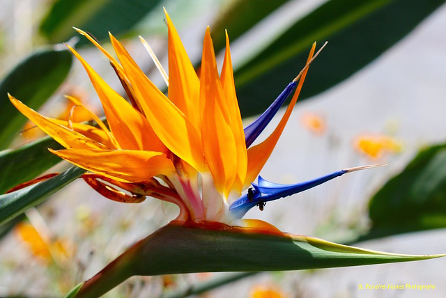 Birds of Paradise, Sheraton Gardens, El Salvador