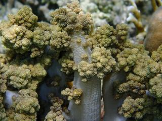 Litophyton arboreum