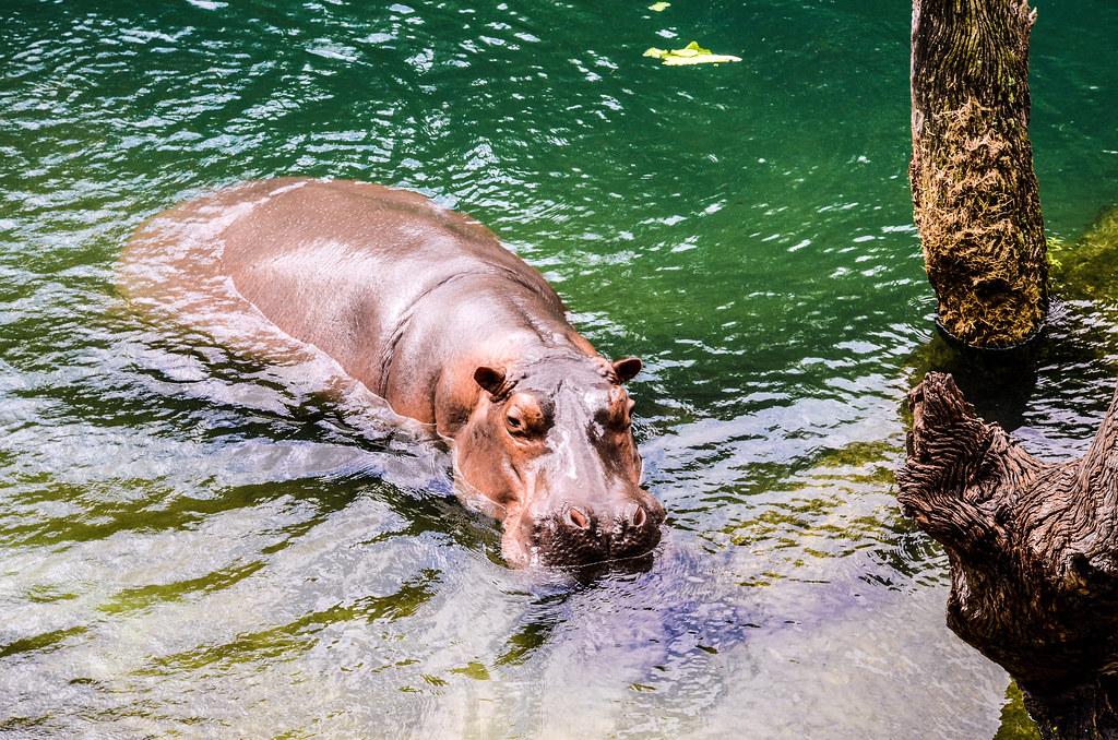 Hippo trunk WAT AK
