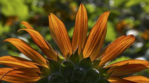 sussexcountysunflowermaze sunflowermaze sunflower sandyston branchville newjersey nj backlit bokeh libertyfarm