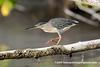 Striated Heron (Butorides striata), adult DSC_2463 by fotosynthesys