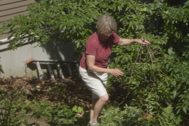 Mom clearing brush in backyard, 22 parker, wakefield, MA (2017)