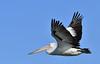 Australian Pelican - steady as she goes by Free_aza_Bird
