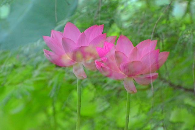Lotus Flowers , Double Exposure